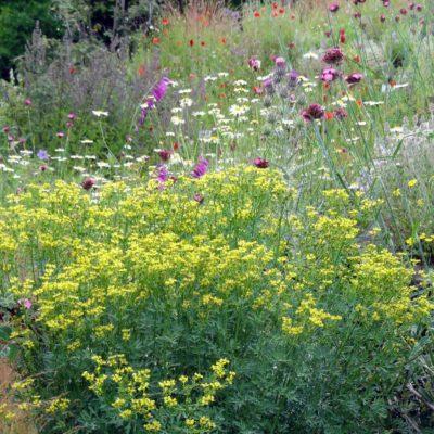 Pflanzenlexikon Ruta graveolens