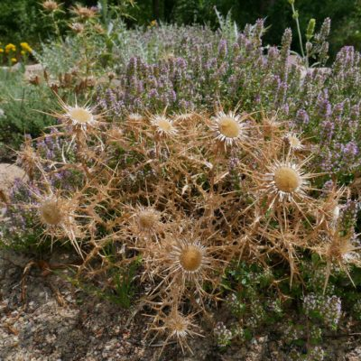Pflanzenverwendung Carlina macrocephala